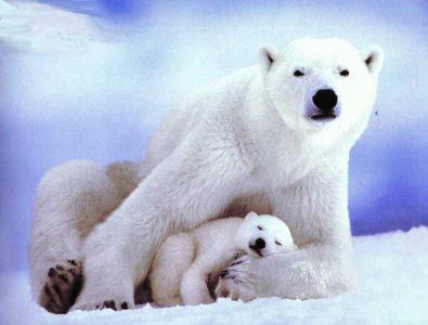الدببة القطبية