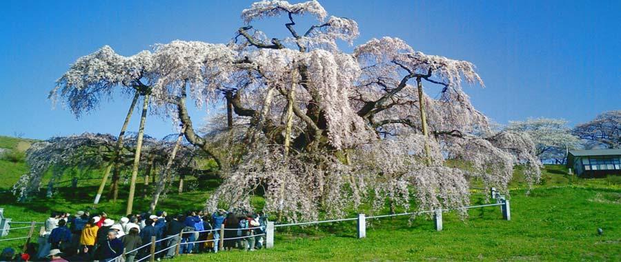 شجرة في اليابان تثمر وعمرها 1000 عاما