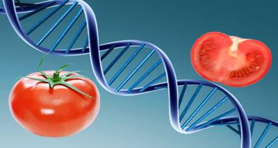 الإنسان أضعف من الطماطم في عدد الجينات