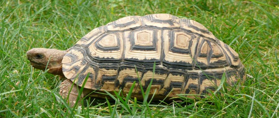 تطور السلاحف