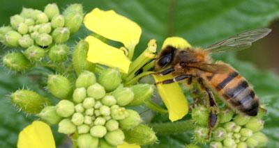 فرنسا تقرر وقف تداول مبيد كيميائي مهدد لمستعمرات النحل