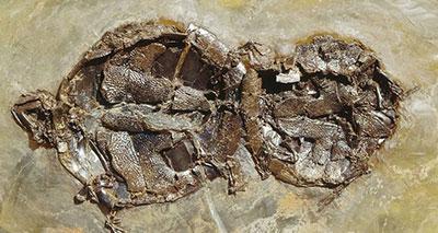 حفريات عمرها 47 مليون سنة لسلاحف أثناء التزاوج