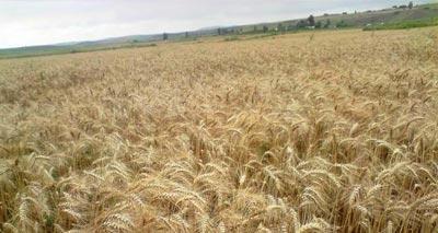 محصول المغرب من الحبوب هذه السنة هو الأسوأ في دول شمال إفريقيا