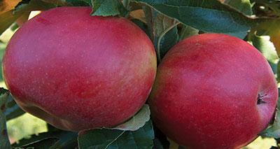 دراسة: التفاح المجفف يخفف الكولسترول في الدم