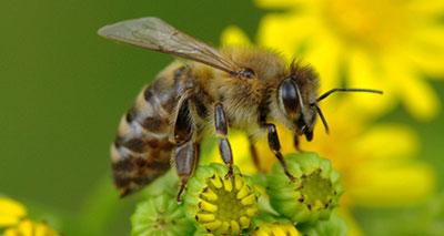 تراجع خطير لأعداد النحل في العالم