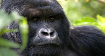 علماء يحذرون من تدمير المواطن الأصلية لحيوان الغوريلا