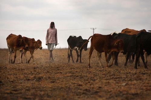 كينيا.. غاز حيوي من مخلفات ذبح المواشي