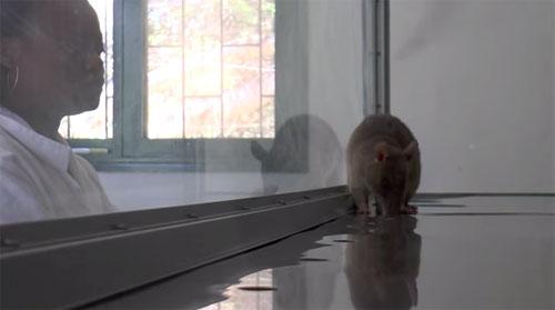 Au Mozambique, des rats géants aident les médecins à détecter la tuberculose