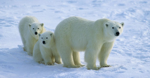 الدب القطبي يهاجر شمالاً