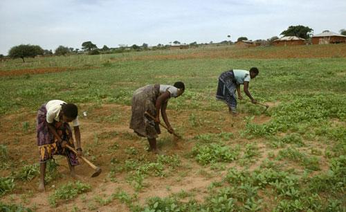 دراسة:التوسع في المزارع بافريقيا يجلب المزيد من القوارض الحاملة للطاعون