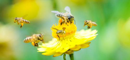 Les insecticides néonicotinoïdes tuent les abeilles, en voici une preuve de plus