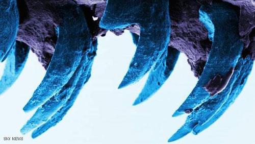أسنان البطلينوس أصلب المواد في الطبيعة