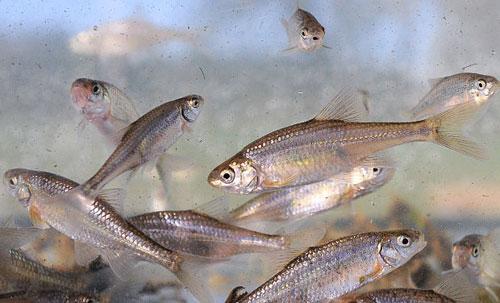 سمكة أميركية تحذف من الأنواع المهددة بالانقراض