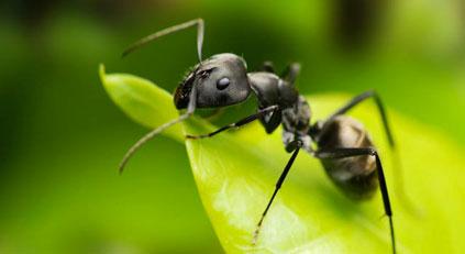 A Farmer Ant's Unique Fungal Crop