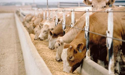 لحوم الماشية المطعمة بالمضادات الحيوية قد تدمر مناعتنا