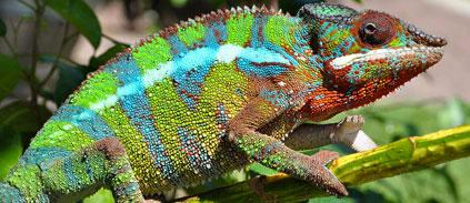 The secret to chameleon color change: Tiny crystals