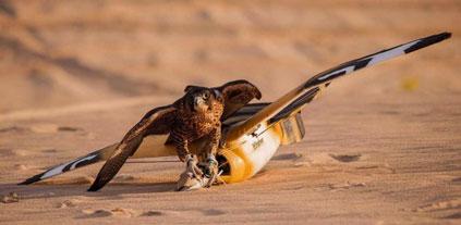 Des drones entraînent les faucons à la chasse