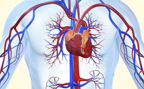 علماء يتوصلون إلى تجديد العضلات القلبية من خلال تحفيز هرمونى