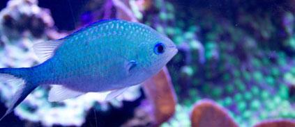 Des écailles de poissons pour créer l'armure de demain? Des scientifiques y travaillent