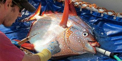 Un poisson pas comme les autres : il a le sang chaud