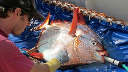 اكتشاف أول سمكة من ذوات الدم الحار