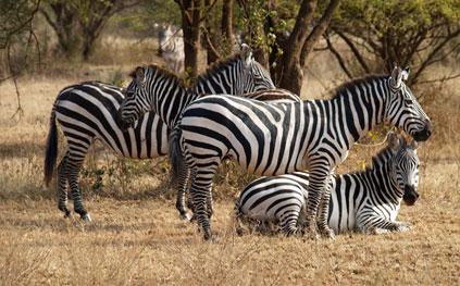 Le zèbre, le tapir, l'hippopotame, le chameau sont menacés d'extinction