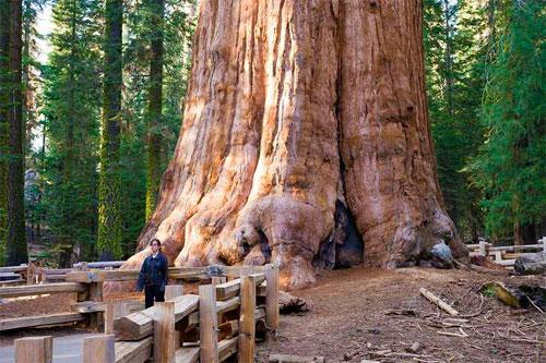 """المصدر: البيان الإلكتروني التاريخ: 14 يونيو 2015     inShare 11       """" الجنرال شيرمان """" هو الاسم الذي يطلق على أكبر شجرة على وجه الأرض، والتي يبلغ حجمها 1487 مترا مكعبا، و يقدر عمرها بـ 2000 سنة .  هذه الشجرة النادرة هي شجرة  السيكوبا العملاقة ، و تقع في حديقة سيكوبا  الوطنية في ولاية كاليفورنيا .  يذكر أن هذا الحجم الضخم لأكبر شجرة في العالم يعادل أكثر من نصف حجم حوض سباحة بالحجم المعترف به في الأوليمبياد الذي عادة ما يصل إلى  2506 مترا مكعبا.    ويقدر علماء  البيئة أن """" الجنرال شيرمان """"  الآن في منتصف العمر تقريبا ، حيث أن عمرها الحالي  2000 سنه فيما يصل متوسط عمر ذلك النوع من الأشجار  إلى 3220 عام .  وبالإضافة إلى حجم الشجرة الضخم فإنها تعد أيضا من الأشجار الطويلة حيث يصل طولها إلى  83.8 مترا ولكن هذا الطول لا يضعها في مصاف أطول الأشجار في العالم ، فأطول شجرة في العالم مسجل باسم احد أشجار الخشب الأ حمر الموجودة في كاليفورنيا ايضا ويصل طولها إلى  115.7 مترا .    طباعة     inShare 11       الأكثر قراءة  الحكم في قضيتي «شبح الريم» والإساءة اليوم الحكم في قضيتي «شبح الريم» والإساءة اليوم من المنتظر أن تفصل محكمة أمن الدولة في المحكمة الاتحادية العليا اليوم في قضية «شبح الريم» التي راحت ضحيتها مدرّسة  الحكم بالإعدام لشبح الريم الحكم بالإعدام لشبح الريم حكمت محكمة أمن الدولة في المحكمة الاتحادية العليا برئاسة المستشار فلاح الهاجري بالإعدام على آلاء بدر عبدالله الهاشمي المعروفة بشبح الريم و المتهمة بقتل الأميركية ايبولا راين و محاولة تفجير شقة أسرة اميركية.  الإعدام لقاتل المواطن المسن والمؤبد  للمتهم بقتيل الطوارئ الإعدام لقاتل المواطن المسن والمؤبد للمتهم بقتيل الطوارئ  قضت محكمة الجنايات في رأس الخيمة، أمس، في جلستها التي عقدت أمس برئاسة المستشار سامح شاكر، وعضوية خالد الشناوي وهشام  موظف يهدد زميلته ونجار في السجن المركزي يدخل الممنوعات موظف يهدد زميلته ونجار في السجن المركزي يدخل الممنوعات باشرت الهيئة القضائية في محكمة الجنايات في دبي، أمس، محاكمة نجار عربي يعمل في الإدارة العامة للمؤسسات العقابية  تفاصيل من جلسة الحكم بالإعدام على شبح الريم تفاصيل من جلسة الحكم بالإعدام على شبح الريم حكمت محكمة أمن الدولة في المحكمة الاتحادية العليا برئاسة القاضي فلاح الهاجري في"""