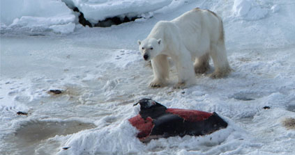 Polar Bears Seen Eating Dolphins For The First Time As Seal Habitat Melts Away