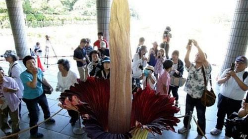 اليابان: أطول زهرة في العالم تتفتح في حديقة في طوكيو