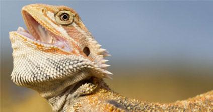 Des lézards changent de sexe sous les yeux des scientifiques