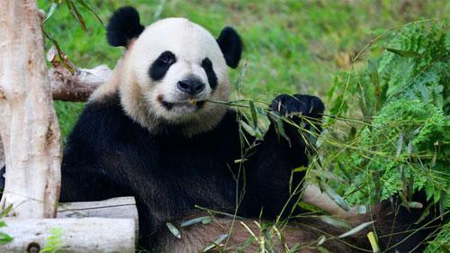 باندا تعيش بهونج كونج تنافس على الرقم القياسي لأكبر باندا في العالم