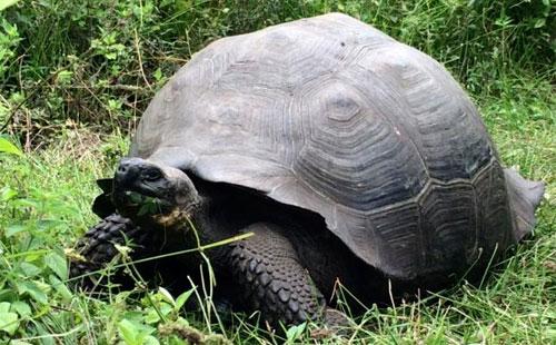 اكتشاف فصيلة جديدة من السلاحف في جزر غالاباغوس