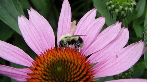 الوقود الحيوي يقلص أعداد النحل في ربع الولايات المتحدة