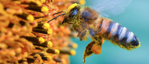 L'extinction des pollinisateurs menace 1,4 milliard d'emplois, selon un rapport