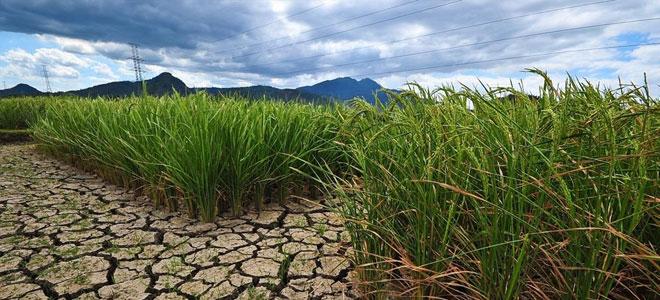 ياباني جديد مقاوم للجفاف riz-japon-s.jpg