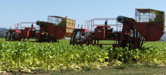 منظمة الصحة: زراعة التبغ تسبب ضرراً هائلاً للبيئة