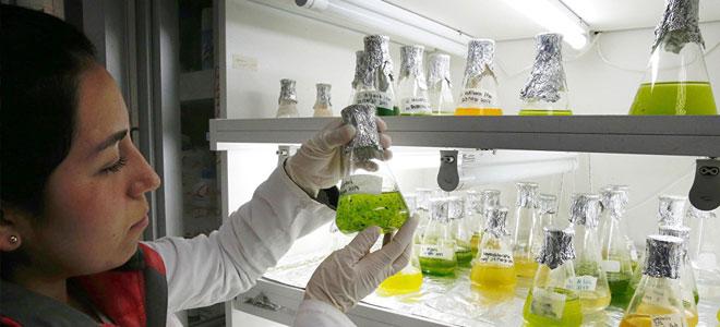 علماء يستخلصون وقودًا حيويًا من الطحالب