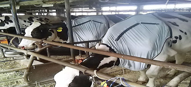 في اليابان.. مكيفات هواء للأبقار