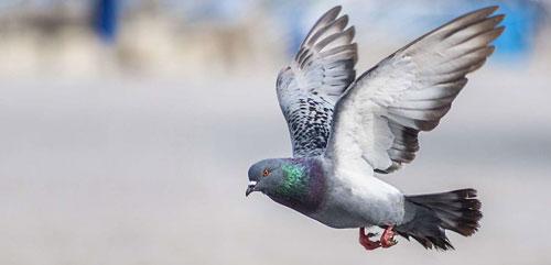 Intelligence des pigeons : ils ont la notion du temps et de l'espace !