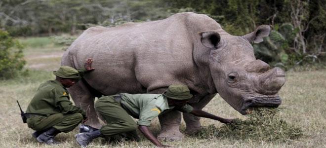 نفوق آخر ذكر في العالم من وحيد القرن الأبيض